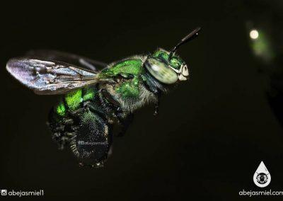 abeja euglossa