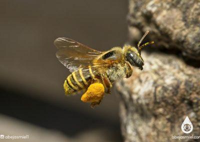 polen en Melipona