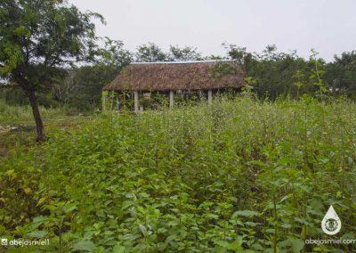 hierba meliponario