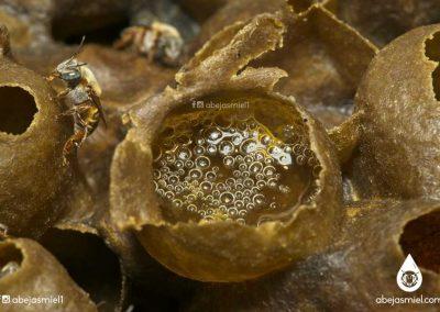Miel de melipona fermentada en potes