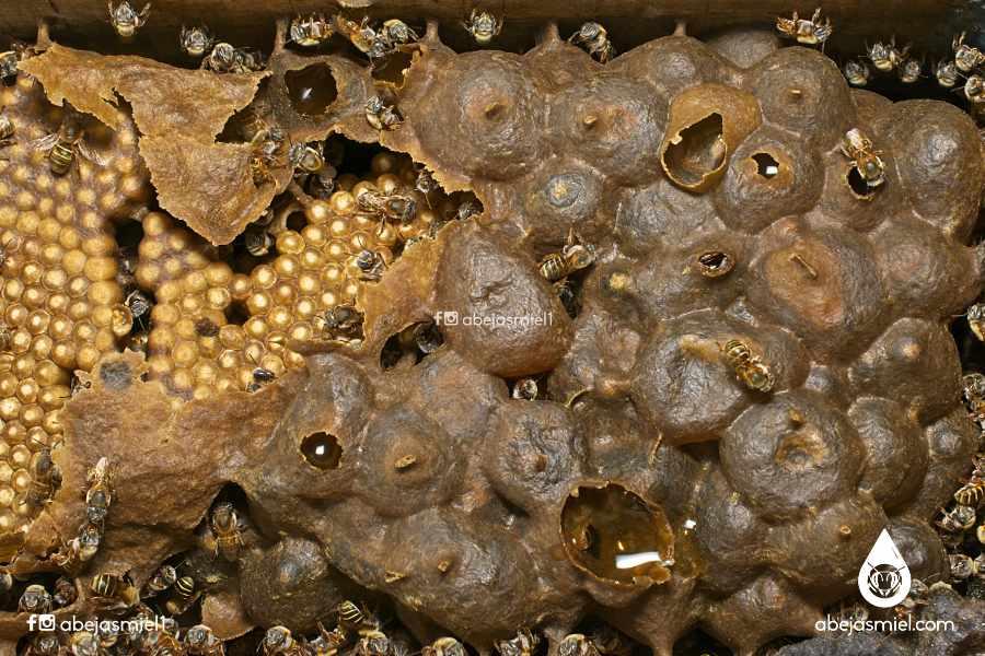 Potes de miel en melipona